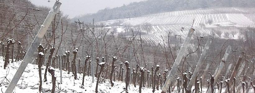 Les vignes du Domaine Loew en hiver à Westhoffen