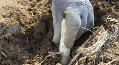 La cueillette d'une asperge en Alsace
