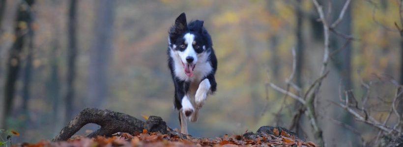Un chien vif et en bonne santé à Wasselonne - vuparici