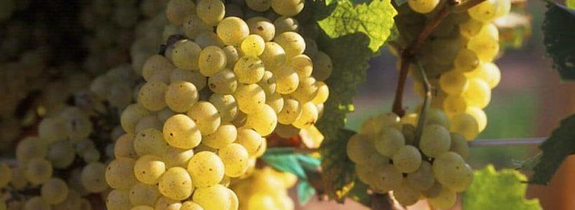 Une grappe de raisin blanc en Alsace