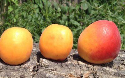 Trois abricots sur un tronc